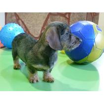 Cachorros Dachshund ( Salchicha, Teckel ) Mini Pelo Duro -