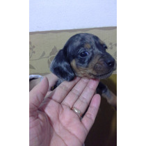 Perro Salchicha Mini