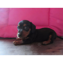 Dachshund- 6 Cuotas Sin Interes-hembras