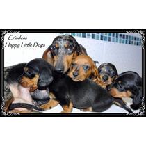 Salchicha Mini Machitos Negro Y Fuego - Cachorritos Hermosos