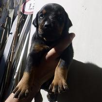 Cachorros Doberman. Machos Negro Y Fuego- Zona Oeste