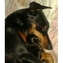 Cachorros Doberman Americanos Puros Padre Y Madre A La Vista