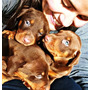 Doberman Marrones Y Negros Cachorros - Excelentes -