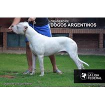 Macho Para Cruza Dogo Argentino De La Liga. Servicio De Stud