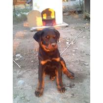 Vendo Rotwailer O Permuto X Dogo Argentino