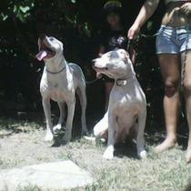 Cachorros Dogo Argentino Puros