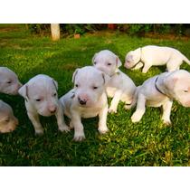 Cachorros De Dogo Argentino Puros - Oferta!!!