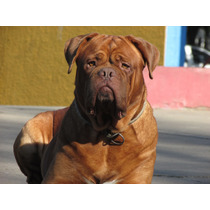 Dogo De Burdeos En Servicio De Stud