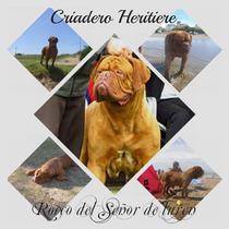 Dogo De Burdeos En Servicio De Stud, Campeon Argentino Rocco