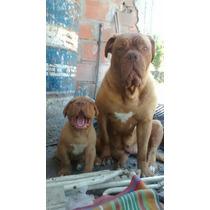 Hermosos Cachorros Dogo De Burdeos