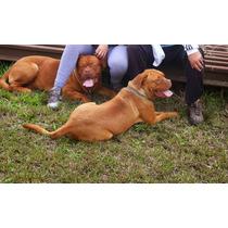 Cachorros Dogos De Burdeos Exelente Línea De Sangre