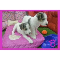 Liquido Fox Terrier Hembrita Tricolor!!! Tarjetas/envios