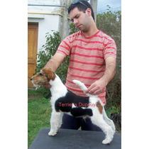 Fox Terrier Wire Macho De Tres Años Con Papeles.