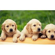 Golden Retriever Cachorros !!! Mascotas Ideal Niños !!!