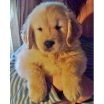 *--* Golden Retriever Cachorros Genetica De Excelencia * -*
