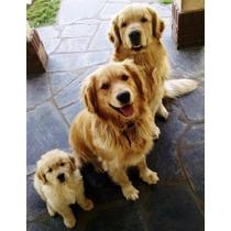 Cachorros Golden Retriever - Padres Fca Rockefeller Olympiku