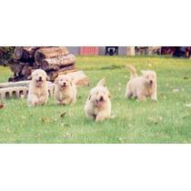 Golden Retriever Cachorros Criadero Rockefeller