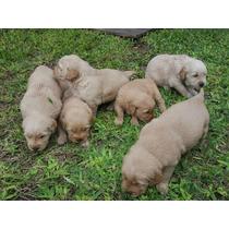 Cachorros Golden Retrievers