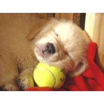 *+* Los Mejores Cachorros Golden Retriever *+*