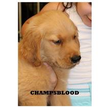 Golden Retriever Con Papeles Cachorros Puros Capital Federal