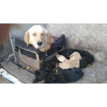 Golden Negro Crusa Con Labrador