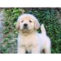 Excelentes Cachorros Golden Retriever Fca Imperdibles!!!