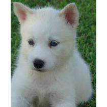 Siberianos Husky Hermoso Cachorro