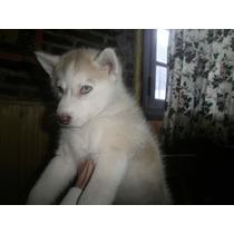 Siberianos Husky Hermosa Cachorra