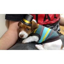 Entrega Ya! Cachorros Jack Russell Del Criadero Love Jack´s