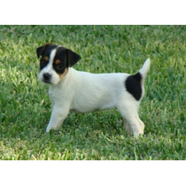 Jack Russell Terrier Cachorros 45 Dias
