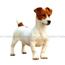 Jack Russell Terrier. Criadero Timberline. Garantia