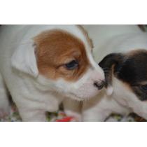 Jaks Russell Terriers Con Chip Y Pedigri De La Fca Hembras