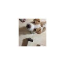Cachorros Jack Russell Se Van Hoy Por Viaje Urgente Puros !!