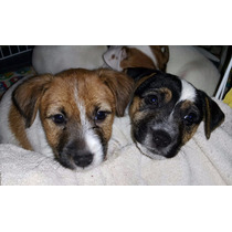 Jack Russell Cachorros