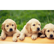 Labradores Dorados Cachorros !!! Mascotas Ideal Niños
