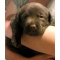 Labrador Chocolate Los Mejores Cachorros De Excelencia