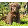 Labradores Chocolate Cachorros !!! Mascotas Ideal Niños !!!