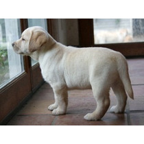 Labrador Retriever Cachorro Excelente Nivel De Crianza
