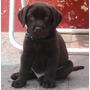Cachorros Labradores Chocolates Con Fca - Criadero Zayin -