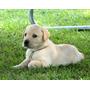 Cachorros Labrador Retriever (labradores Del Juturi)