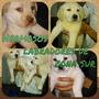 Cachorros De Labrador Todo El Año