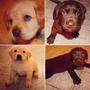 Cachorros De Labrador Chocolates Criadero Calquin