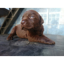Cachorros Labradores Chocolate Con Fca