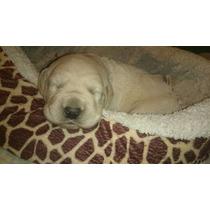Excelentes Cachorros Labradores C/pedigree Fca