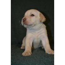 Cachorros De Labrador Arenas Y Negros Criadero Calquin