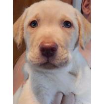 Hermoso Cachorro Labrador Criadero Calquin