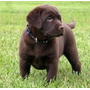 Labrador Retriever Cachorros Chocolates Rockefeller Willsam