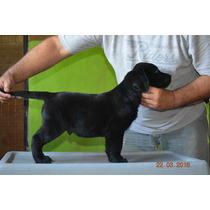 Cachorros Labrador Excelente Genetica