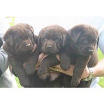 Labrador Retriever Chocolates Excelentes Rockefeller Willsam