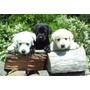 Vendo Cachorros Labrador, Golden, Yorkshire, Shit-zu Y Otros
